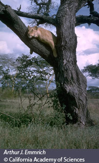 lion in acacia tree